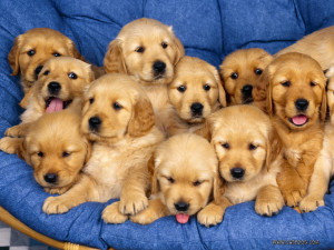 golden-retreiver-puppies